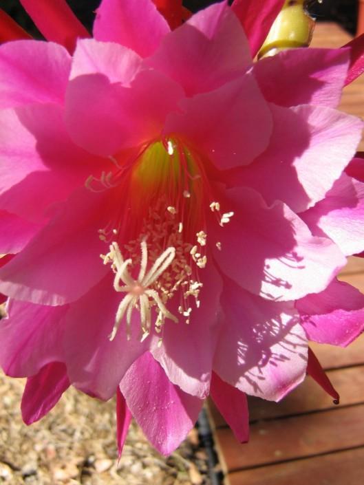 Orchid cactus