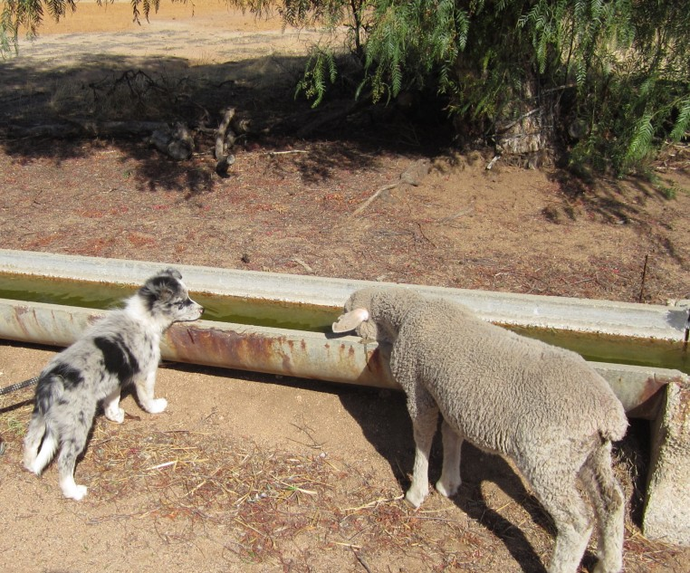 sheep and puppy